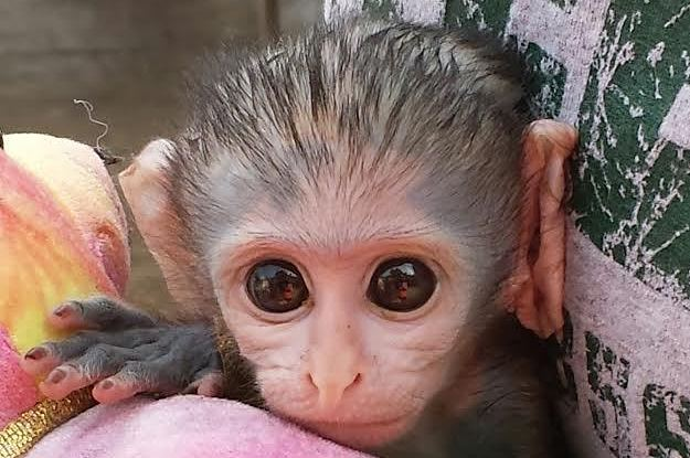 this baby monkey was found clinging to his dead mother's back