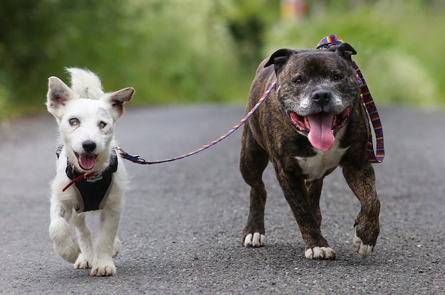 This Blind Jack Russell And His Guide Dog Best Friend Have