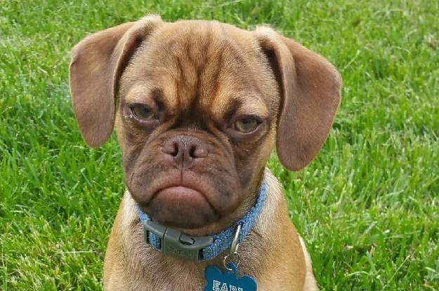 this ridiculously cute puppy has a permanent grumpy face