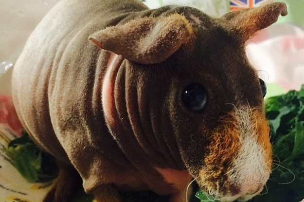 Have You Heard Of Quot Skinny Pigs Quot