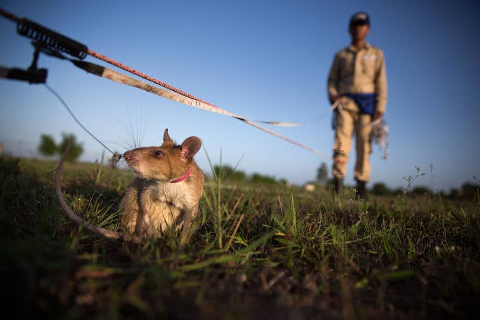 Huge rats in Cambodia are being trained to detect explosives in mine-riddled fields. As NPR reported, when it sniffs out potential TNT or other unexploded ordnance, the rat scratches the ground for a tasty award: a banana.