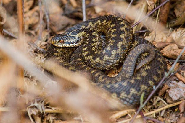 The adder (Britain's most dangerous snake)