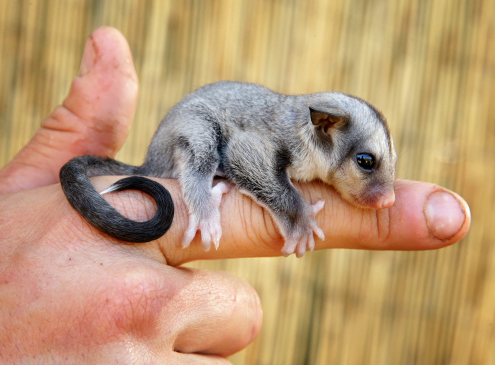 meet ryder the baby sugar glider heu0027s 80 days old and a resident of queensland zoo most importantly heu0027s cute af