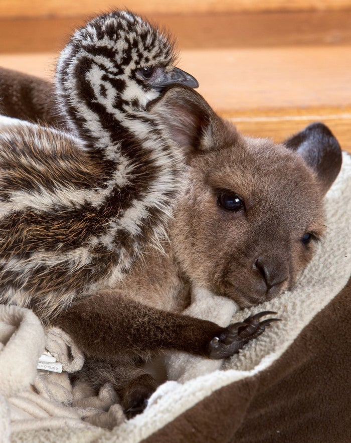"""""""We have so many wild feral foxes in Australia. The father emu 'Elvis' would not have been able to protect the chicks from being eaten at night. Now these bundles of fluff sleep next to my fireplace... they all live quite happily together."""""""