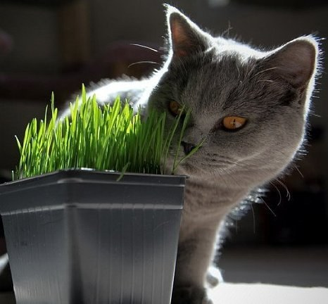 If your cat has trouble with hairballs, use kitty grass, which will provide fiber.
