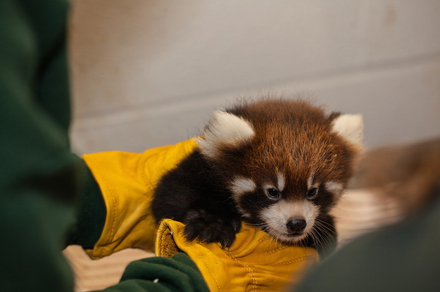 Two Adorable Red Panda Cubs Are Ready To Make Their Debut In Chicago