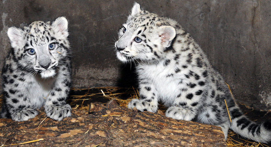 Chicago Has Just Been Blessed With Two Rare Snow Leopard Cubs