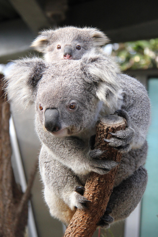 These Baby Koala Joeys Are Too Cute