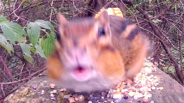 Just milliseconds before impact an enraged Chipmunk attacks its own reflection in the camera lens to protect its new-found stash of food!