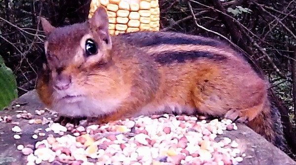 Chipmunk arrives at a pile of seed and soon notices a nearby competitor!