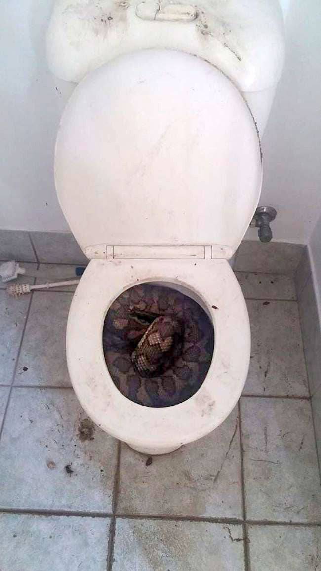 Snakes Are Turning Up In Australian Toilets And They Look