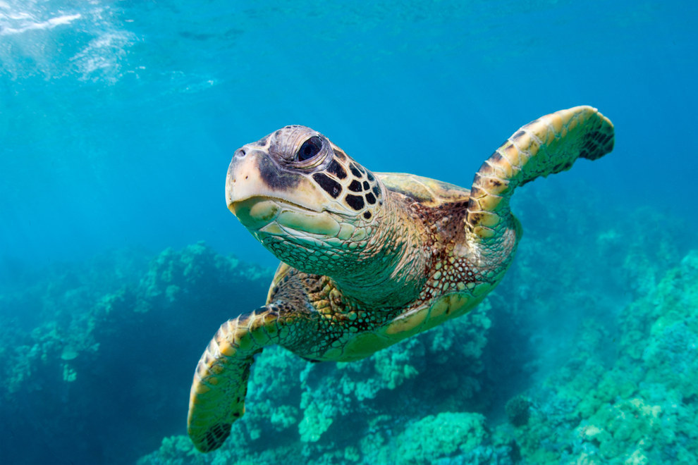 Wouldn't you like to meet this green turtle?