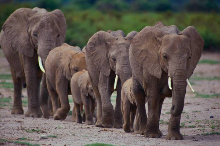 Young, elderly, and female elephants exist in a group known as a herd. Male elephants, who can get rowdy, are still members of herds, but exist further from the group.