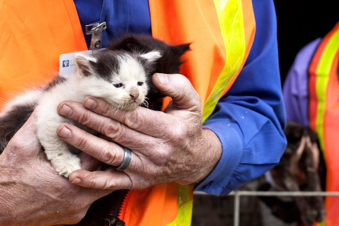A kitten with whiskers damaged by heat is inspected by a veterinarian at a property that was evacuated and partially burnt by the Valley Fire in Hidden Valley Lake, California. The toll of property loss from this deadly Northern California wildfire has climbed to at least 585 homes and hundreds of other structures destroyed.