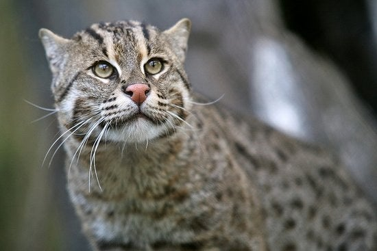 Native to south and southeast Asia, the fishing cat prefers to live near the water. It is the best swimmer in the cat family but is rapidly losing habitat due to human expansion.