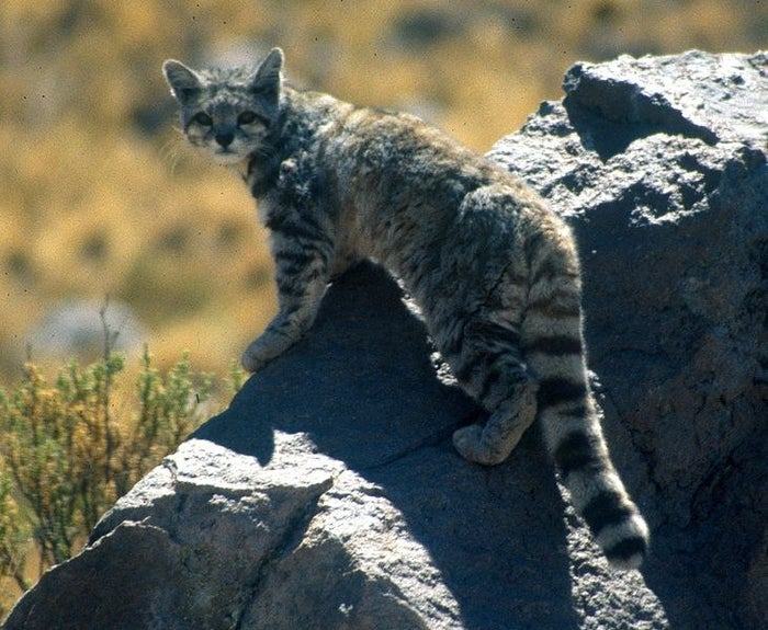 This species of wild cat native to the Andes mountains in South America is rarely ever seen, let alone photographed. Scientists estimate there are only about 2,500 of them left. They are about the size of a large house-cat, and there are none currently in captivity.