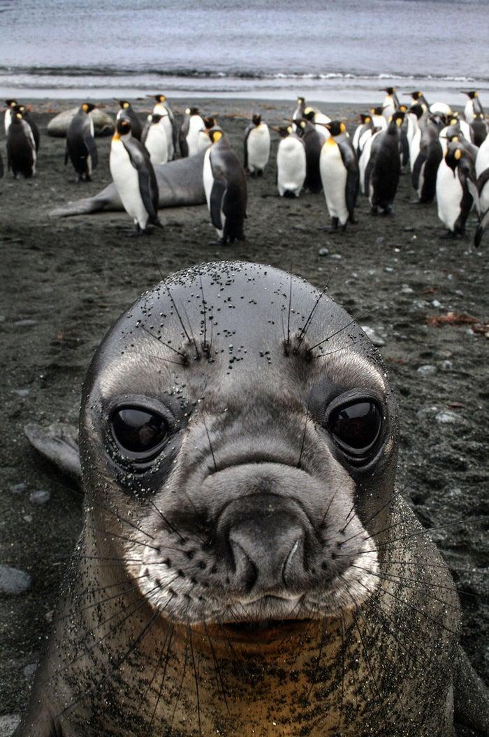 Este é, na verdade, o momento em que um filhote de elefante marinho bochechudo posou a apenas 30 centímetros da fotógrafa Inger Vandyke e sua câmera.