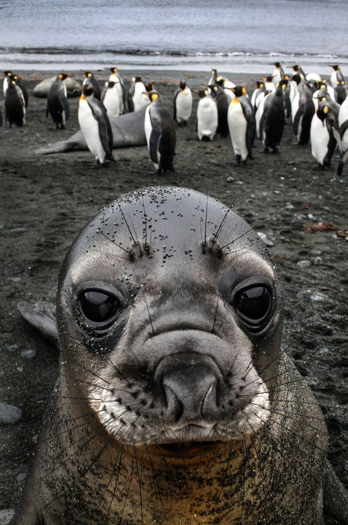This is actually the moment a cheeky elephant seal pup posed only 30 centimetres away from photographer Inger Vandyke and her camera.