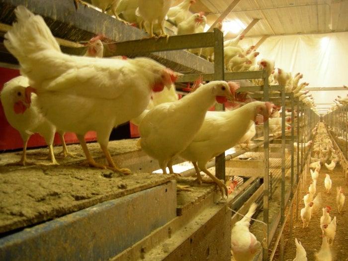A cage-free chicken farm.