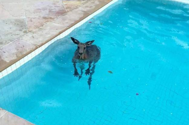 This Kangaroo Was Caught On Camera Casually Taking A Swim