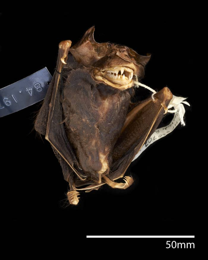 Turns out it's also the first member of a previously unknown species now named Francis's Woolly Horseshoe Bat, or Rhinolophus francisi.The name is a hat tip to the guy who collected the bat over 30 years ago in Malaysia: Charles M. Francis.
