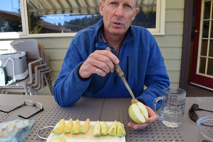 Neal Carter lays out regular and Arctic Golden Delicious slices side by side.