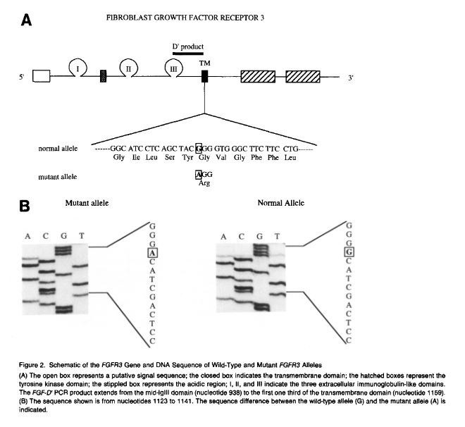 fgfr3 function Read medical definition of gain-of-function mutation.