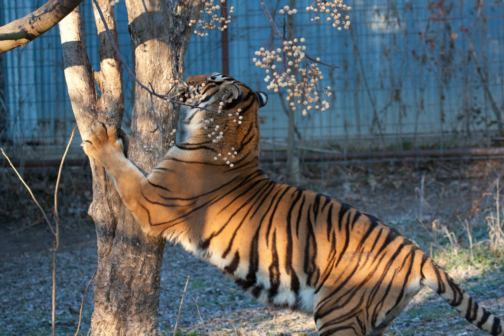 17 Tigers Who Are Just Being Giant Cats