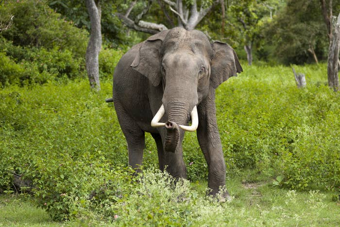 """Lalit Modi is one of the twentyfive odd patrons of the """"Elephant Family"""" Trust which is devoted to protecting Asian Elephants."""