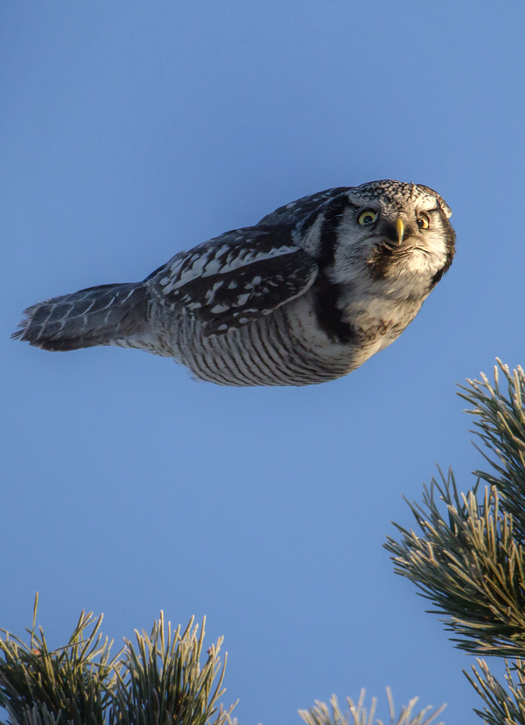 This is The Coolest Goddamn Owl You Will See Today
