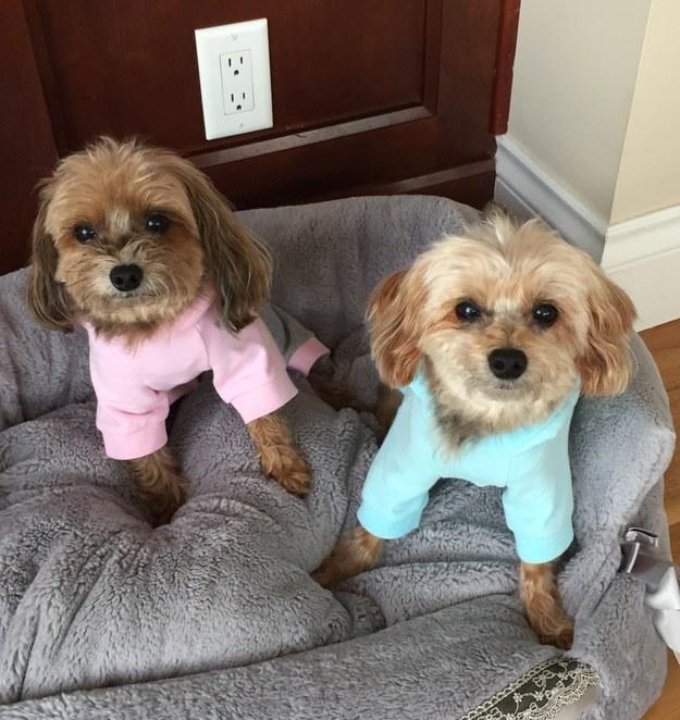Sua semana vai ser complicada? Aqui estão dois cãezinhos sérios de pijama.