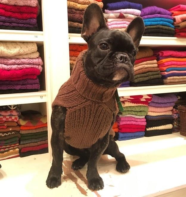 Cachorros posando em frente a coisas coloridas usando suéteres...
