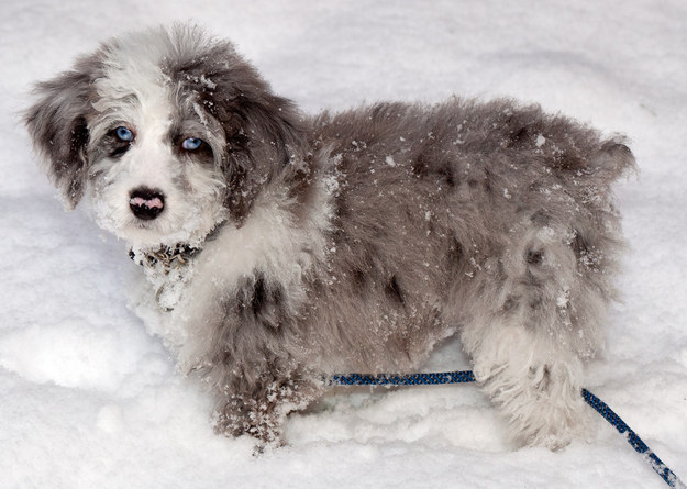 How Well Do You Know Your Poodle Mixes