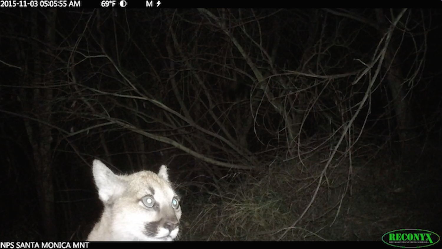 """A """"Ghost"""" Mountain Lion Kitten Has Been Discovered In Los Angeles"""