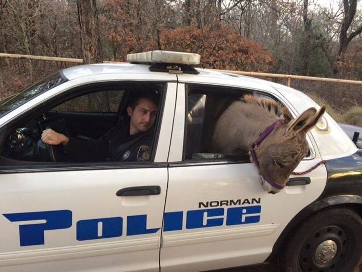 """""""Squishy"""" The Wayward Donkey That Rode In A Police Car Is Back Home"""