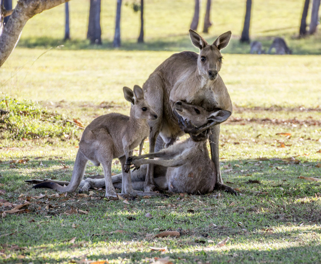 This Photo Of Two Kangaroos In Mourning Will Give You Feelings