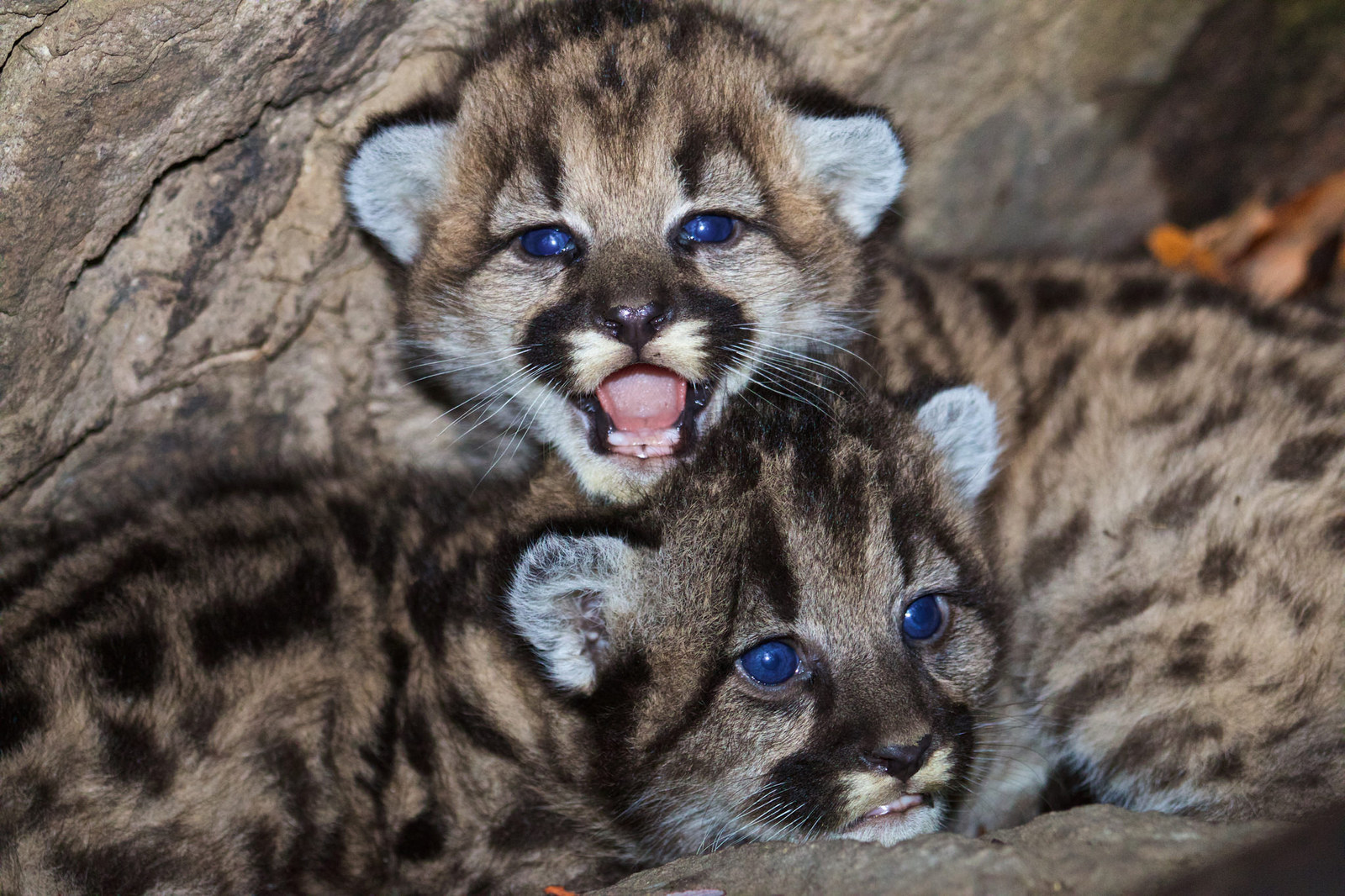 These Mountain Lion Kittens Were Just Discovered Near Los Angeles