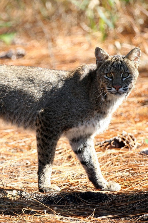 A bobcat spotted in Daytona Beach, Florida.