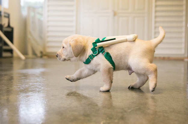 Guide Dog Puppies Are Being Trained With These Adorable