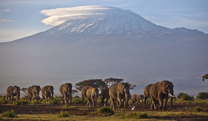 Elephants near Mount Kilimanjaro in Tanzania.