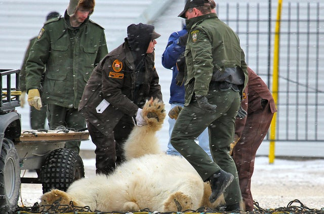 "A polar bear being ""arrested"""