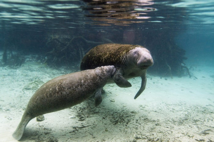 A manatee calf nurses from its mother inside of the Three Sisters Springs in Crystal River, Florida January 15, 2015.