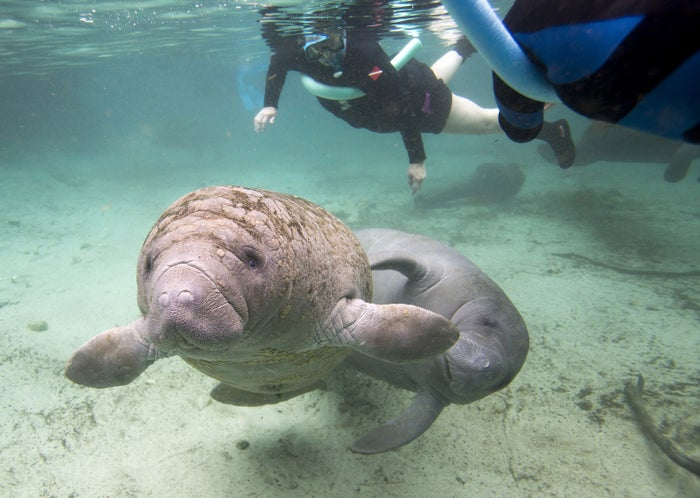Two Florida manatees swim in the Three Sisters Springs with snorkelers in Crystal River, Florida January 15, 2015.