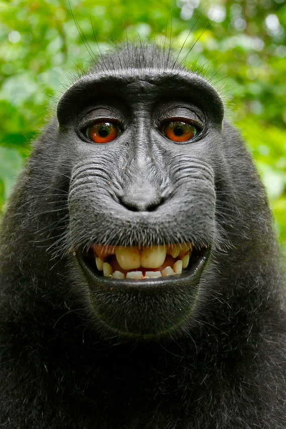 Judge: Monkey Does Not Own Copyright For Selfie