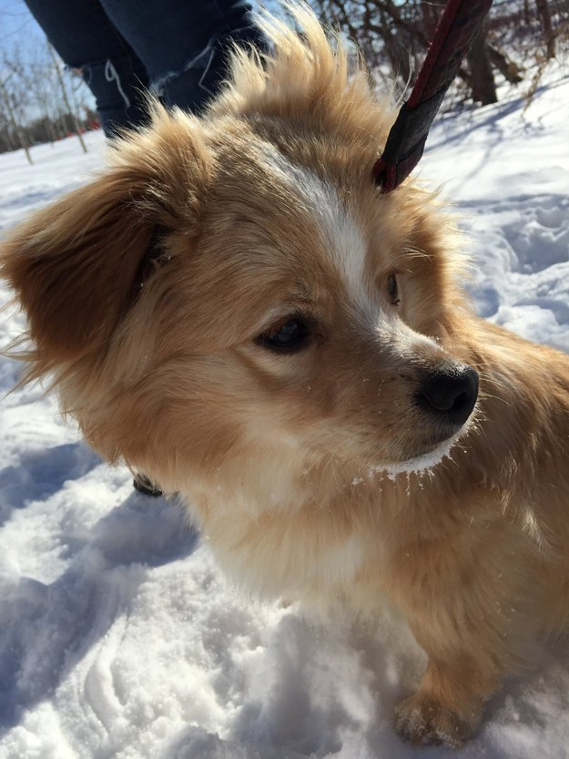 This is Mittens, a Corgi-Sheltie puppy at the Winnipeg Humane Society who's looking for a forever home just two months after being found with his back legs crushed.