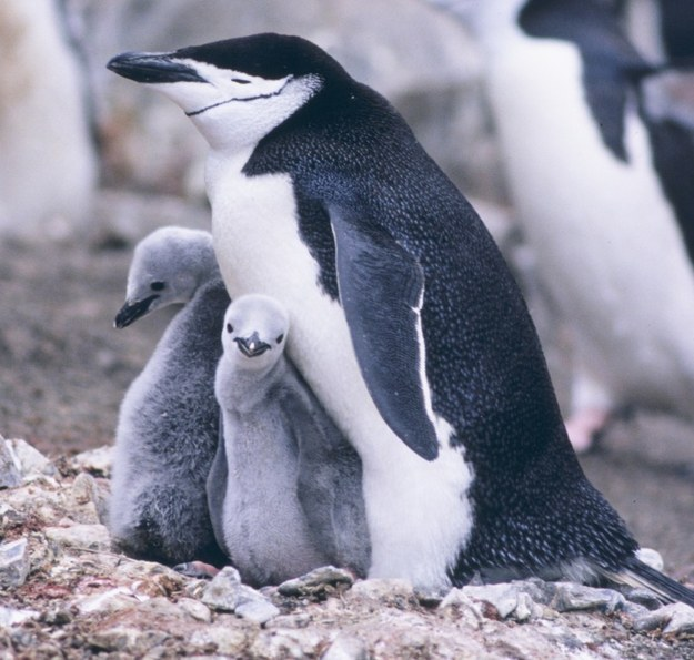 Penguins are famous for being the best same-sex parents around: