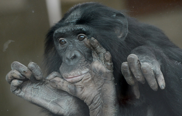 Bonobos, relatives of the more well-known chimpanzee, often get kinky with whomever they please: