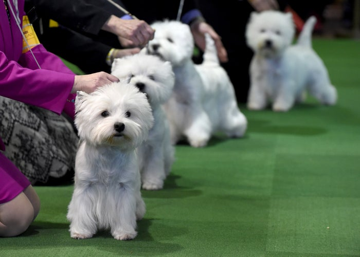 West Highland White Terriers.