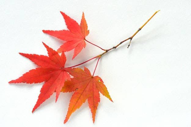 Its A Maple Leaf