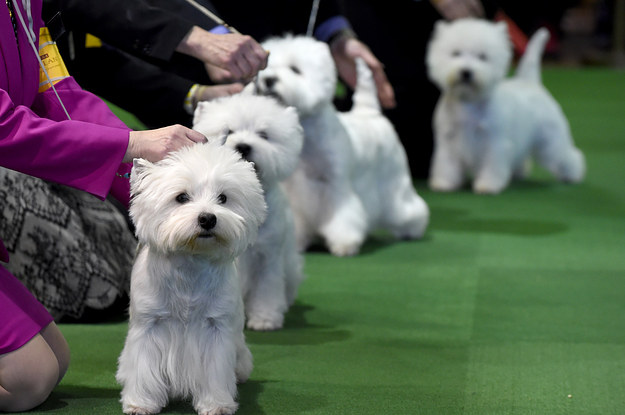 The Cutest Dogs Of The 2016 Westminster Dog Show